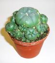 Growkit kaktus Peyote