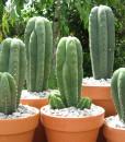 Growkit kaktus San Pedro