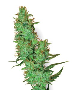 Jack Herer Feminised