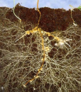 Mykorhiza - symbiotická houba jako organické hnojivo zlepší růst rostlin