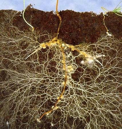 Mykorhiza – symbiotická houba jako organické hnojivo zlepší růst rostlin