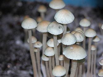 Panaeolus Cyanescens Ban Lamai
