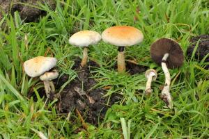 Psilocybe cubensis v přírodě