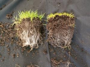 Rozdíl v kořenech rostliny s mycorhizou a bez ní