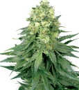 White Widow Feminised