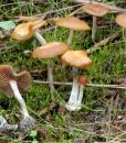cyanescens ballard