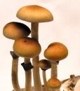 Lyshlávka Psilocybe Cubensis Australia