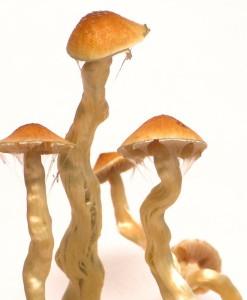 Psilocybe cubensis Tasmania